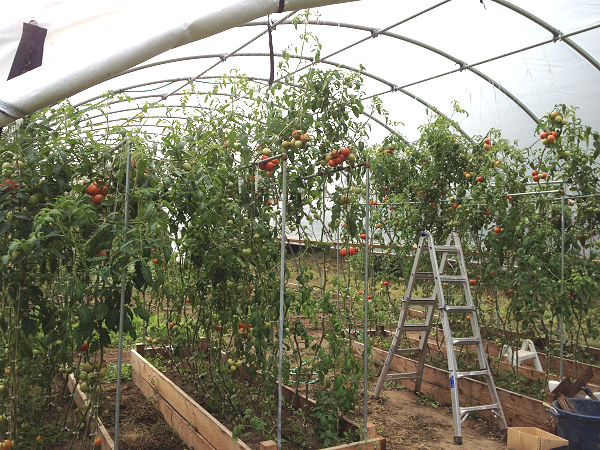tomatoes growing in the hoop house