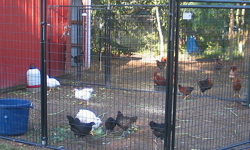 chicken_yard