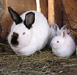rabbit_meat
